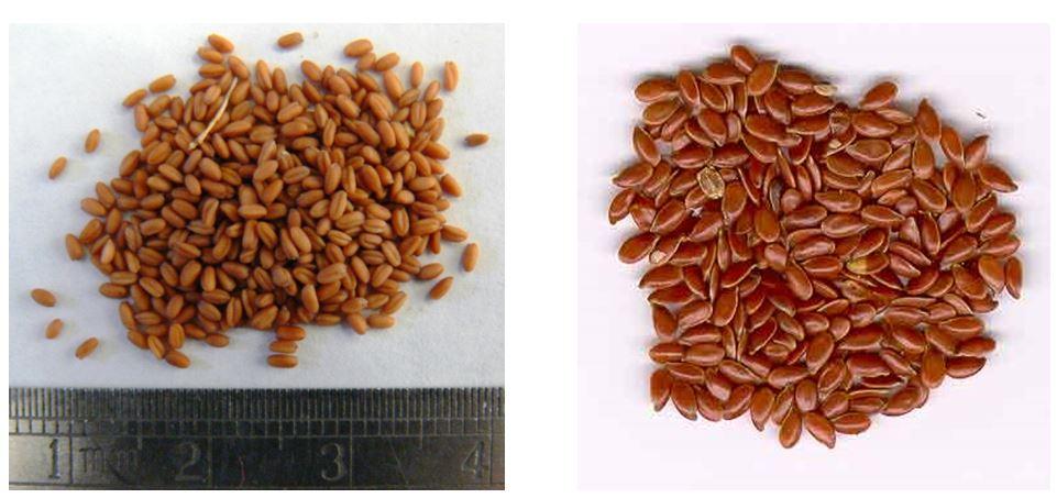 Lino flax