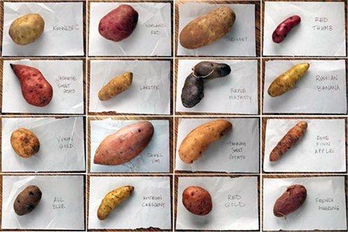 001 patate